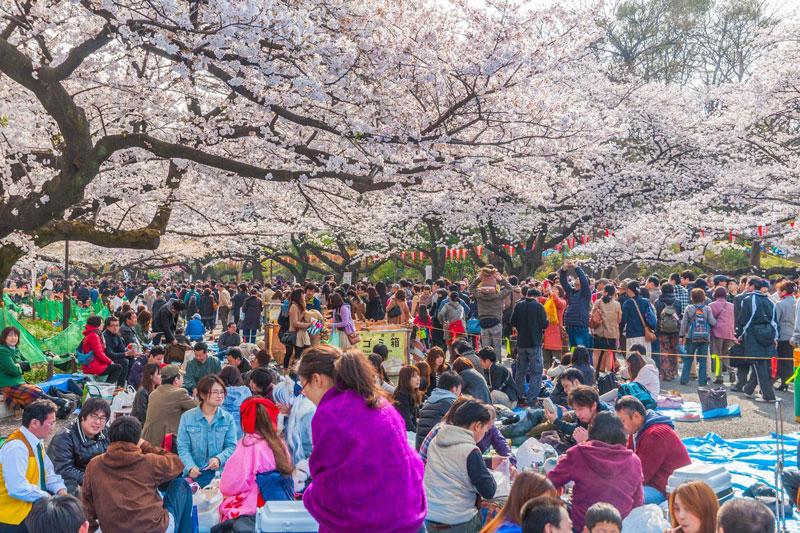 جشنواره شکوفه های گیلاس ژاپن