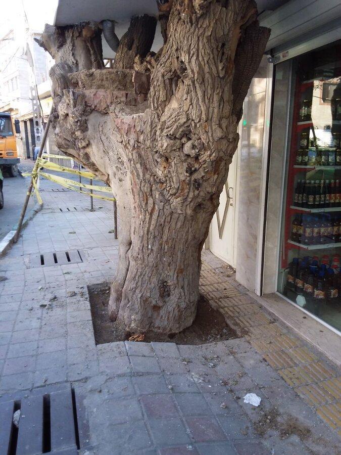 درخت توت 300 ساله لویزان شناسنامه دار می گردد