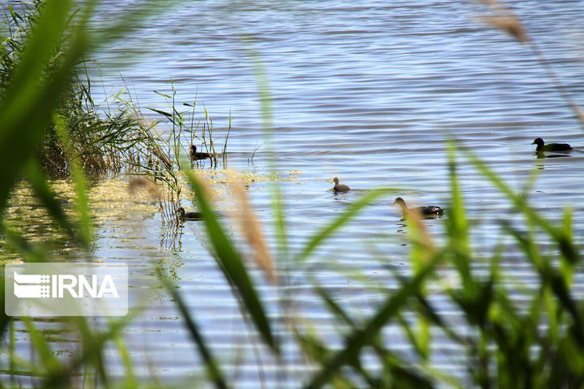 خبرنگاران تالاب های نقده میزبان 10 هزار قطعه انواع پرنده آبزی و کنارآبزی